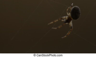 Spider weaves a web - Spider Garden-spider -Araneus- on a...