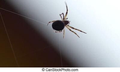 Spider weaves a web - Spider Garden-spider -Araneus- weaves...