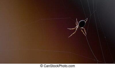 Spider weaves a web - Spider Garden-spider -Araneus- weaves ...