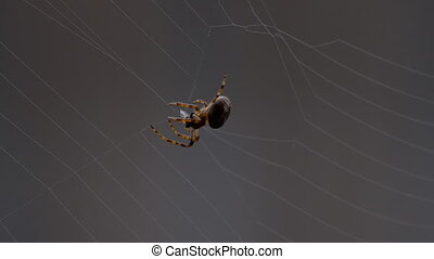 Spider weaves a web - Spider Garden-spider -Araneus- weaves...