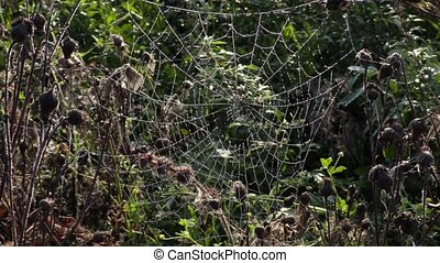 Spider Web, cobweb in meadow