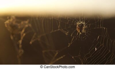 spider web cobweb on the sunset insect varicoloured insect lifestyle background . the spider hunts nature concept