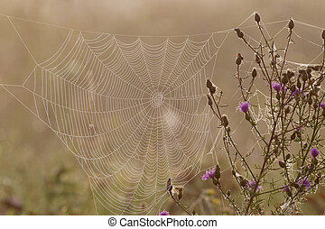 Spider web full of dew drops in the early morning sun.