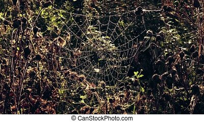 Spider web in morning