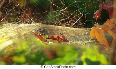 Spider web in the forest with dew drops outdoors 1280x720 HD...
