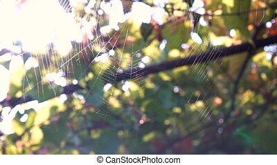 Spider web woven by a spider on a tree