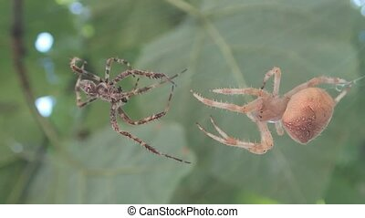 Spiders coming closer - Two spiders coming closer for mating