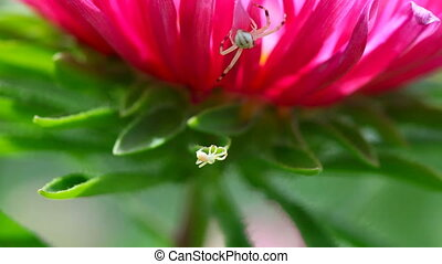 Spiders. - Crab spiders weaves a web on a flower.