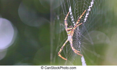 Spiders on the cobweb. - The wind blows Orb weaver spiders...