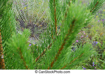 spiderweb in the pine branches