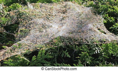 Spiderweb on the bush.