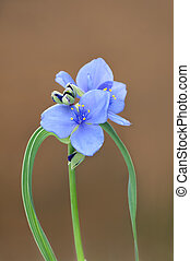 Spiderwort Blossom Closeup
