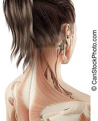 spierballen, hals, vrouwlijk