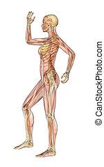 spierballen, skelet, been, -, vrouwlijk, arm boog