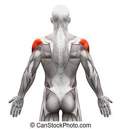 spierballen, -, vrijstaand, illustratie, anatomie, deltoid, witte , muscle, 3d