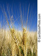 Spighe di grano in un campo