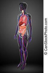 spijsverterings, en, circulatory systeem, van, mannenlichaam