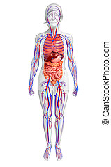 spijsverterings, en, circulatory systeem, van, vrouwelijk lichaam