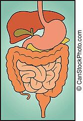 spijsverteringssysteem