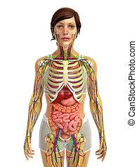spijsverteringssysteem, vrouwlijk