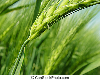spike - closeup of barley ears in the field