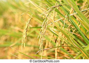 spike in thai farm rice near sunset