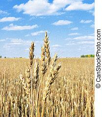 spike wheat