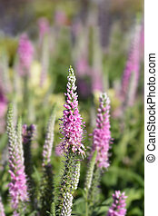 Spiked speedwell flower - Latin name - Veronica spicata
