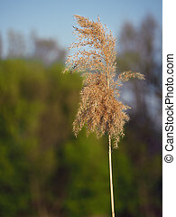 Spikelet at the blue lake
