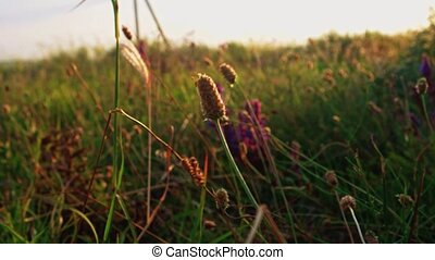 Spikelets and wildwlowers shivering on wind backlit, sunset...