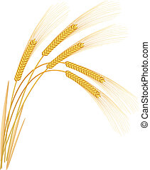 spikelets, centeno, fondo., vector, blanco, illustration.