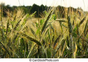 Spikelets in wheat field
