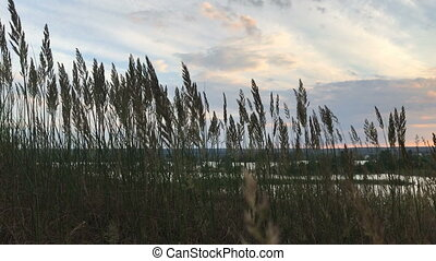 spikelets move from wind in the evening