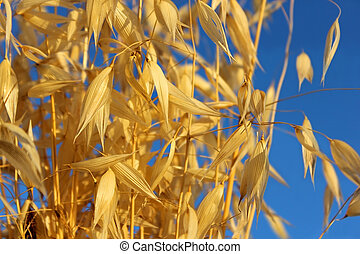 spikelets of oats against the blue sky