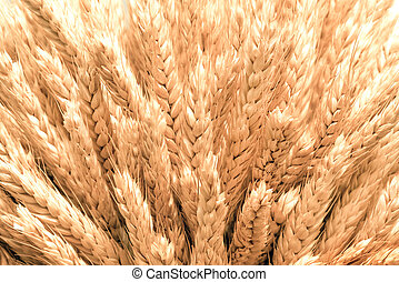 spikelets of ripe wheat close up, background