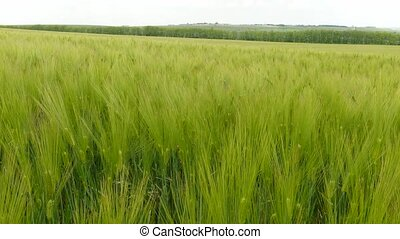 Spikelets of ripening wheat are fluttering in the wind -...
