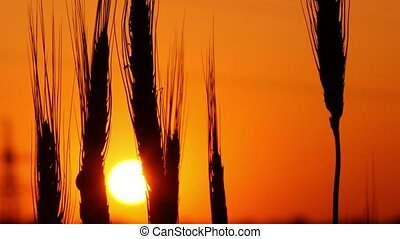 spikelets of wheat against the background of the setting sun