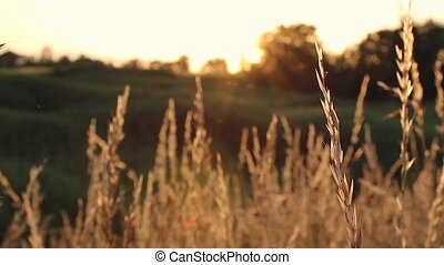 Spikelets of wheat at sunset. Sway in the wind - Sunset on ...