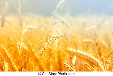 Spikelets of wheat in the sunlight