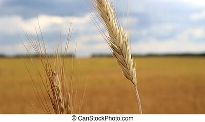 Spikelets of wheat in the wind