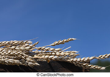 spikelets of wheat on blue sky background