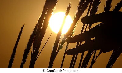Spikelets of wheat swaying in the field at sunset