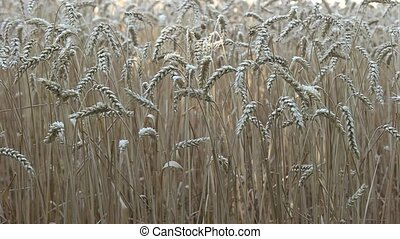 Spikelets of wheat swaying in the wind