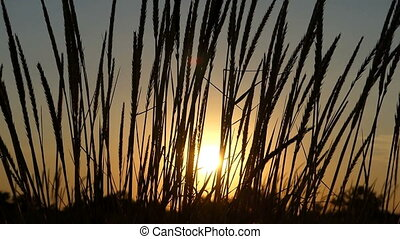 Spikelets of wild grass waving in the field at sunset in slo-mo