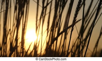 Spikelets of wild weed waving in the field at sunset in slo-mo