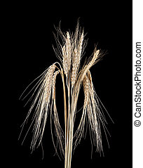 spikelets on a black background