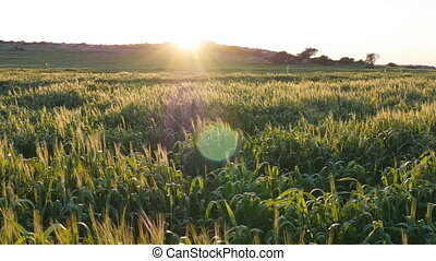 Spikelets still green wheat in a field at sunset