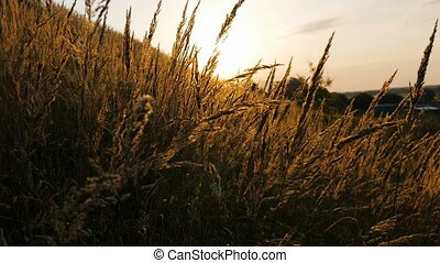 Spikelets swaying in the wind, at dawn.