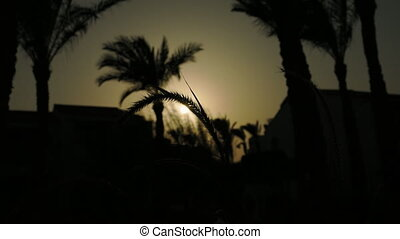 Spikes and palm trees silhouette at the sunset - Grass ear...