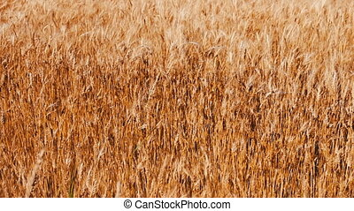 Spikes of golden wheat sway in wind in the field - Spikes of...